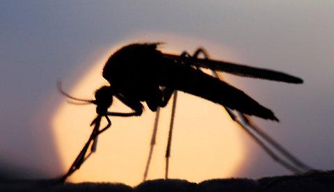 myggår: Flom gir mye og mer aggressiv mygg i sommer. Foto: geir egil skog