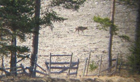 Ulven gikk rett forbi Skogstad på Plassen lørdag. PÅl H. Eggset fotograferte ulven gjennom en kikkert.