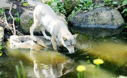 Ulvebestanden i Norge står på stedet hvil i forhold til i Sverige hvor den har blitt doblet i løpet av få år. Foto fra dyrepark