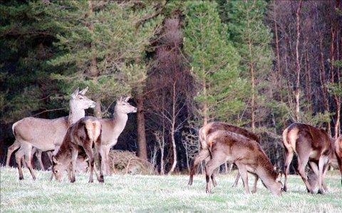 Hjortejakta er mest populær blant fylkest jegere.