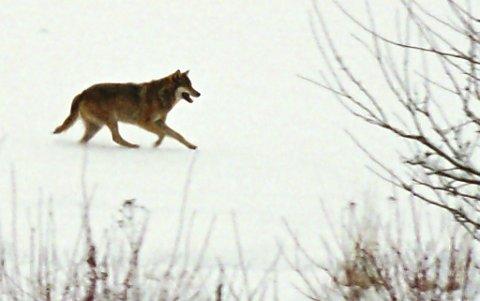 Egen kvote: Ulvens tilstedeværelse i Nes, Eidskog, Sør-Odal og Kongsvinger må tas hensyn til når kvotene for elgjakta settes, mener Elgregionråd