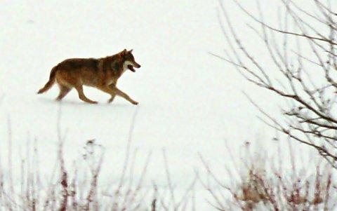 UTVIDER LISENSKVOTEN: Lisenskvoten for ulvejakt er økt med fire dyr. Nå er imidlertid lisensjakta inntil videre stoppet, etter felling av ulv i Rendalen i går.FOTO: PRIVAT