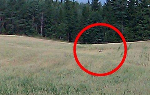 TILBAKE SØNDAG: Natt til lørdag ble elgen drept. Søndag morgen tok Anni Sandaker dette bildet. Hun mener selv hun så ulven på samme jordet som elgen lå. FOTO: ANNI SANDAKER