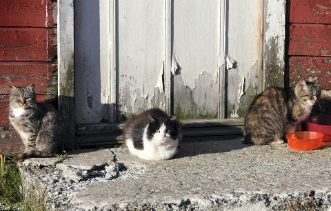 FÅR VÆRE I FRED: Vardø kommune har sagt fra seg ansvaret for villkattene.