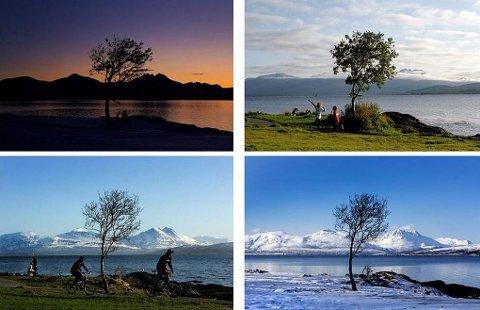 BLE BORTE: Treet i Paradisbukta kan stå som en indikator på en sykdom som ser ut til å ramme Tromsø med hard kraft hvert år: trefellingssyndromet. Yngve Olsen Sæbbe