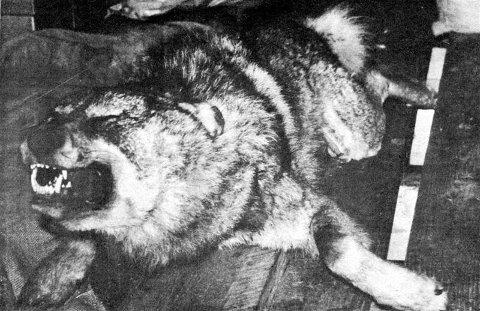 Slik så ulven ut fem dager etter at den ble tatt av dage 21. april 1974. Foto: Tore Eriksen