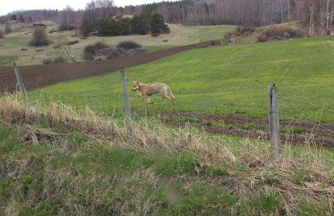 Ulv på tur i Skogbygda i Vågå. Det er gjort flere observasjoner i morgentimene lørdag. Nå spør SNO om det var denne som ble skutt torsdasg kveød.