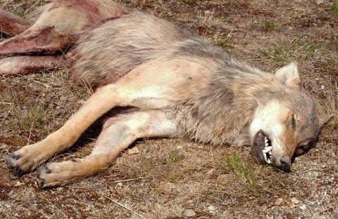 TOK 20 SAUER: En ulv på 45 kilo ble felt i Sykkylven torsdag kveld. Dette var første ulven som er felt på 100 år på Sunnmøre.
