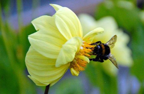 Paradis: En humle forsyner seg godt av pollen fra de mange sommergeorginene.