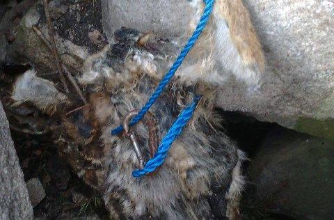 ÅTE FOR ROVFUGL?: Det er mye som tyder på at den døde haren som fredag i forrige uke ble funnet hengende i et tau ved Ågårdselva, ikke er blitt utsatt for dyremishandling ? men at den allerede var død da den ble hengt som åte for rovfugl av ivrige naturfotografer. (Foto: Ie Olsen)