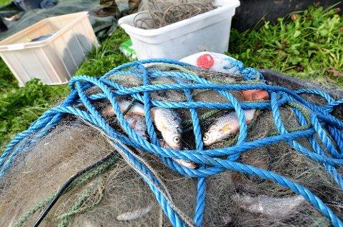 Professor Thrond Hagen, Ronny Steen fra Institutt for naturforvaltning, og masterstudent Are Rognes hadde hadde nok å gjøre med å fjerne mort, og annen fisk, fra tretten fulle garn.