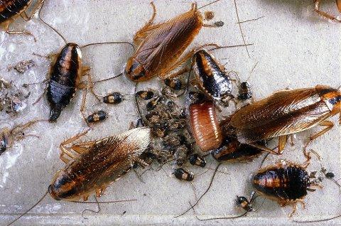 Tyske kakerlakker.