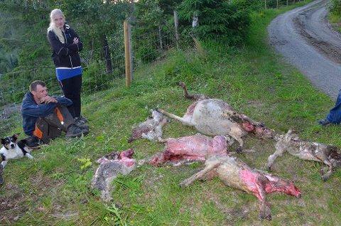 Rovviltangrep: Onsdag slo ulven til igjen i Skotselv, og to lam er så langt funnet døde. Her er de døde dyrene som ble funnet lørdag.