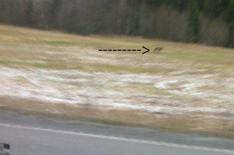RAKK Å TA BILDE: En meget forfjamset Hege Eilertsen rakk å ta dette bildet før dyret forsvant.