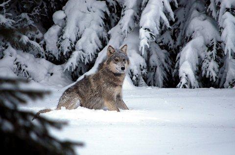 Øystre Slidre kommune fekk avlsag på fellingsløyve av ulven. Arkivfoto.