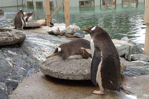 Pingvinene er en stor attraksjon for Akvariet i Bergen. (22.06.2005)