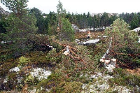 Ødelagt: Dette bildet viser hvordan vandalene har herjet i skogen på Torvhaugan.   Foto: Bjørn A. Hansen
