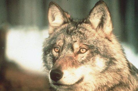 TATT LAM: Ulven som er på ferde i Eidsvoll har forsynt seg med flere lam. FOTO: SCANPIX