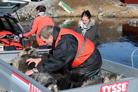 Villsauen er skipa inn til Nerdvika. Nå skal de fraktes med biltilhenger til inngjerding i Nerdvika på Smøla. Familien Svendsen har kontroll. Fra venstre: Ellen Marie, Per Morten, Ida.