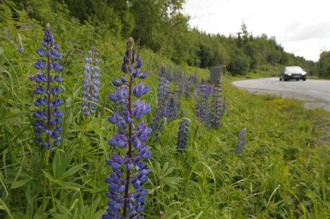 FORBUDT: For noen år siden sådde Vegvesenet lupiner langs enkelte veistrekninger. Nå vil DN forby utplanting av blomsten. Foto: Øyvind Bratt
