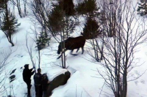 ANGREP: Hans Moen i viltnemnda og innsatsleder Knut Hammer i Romerike politidistrikt fikk møte den illsinte elgkua på nært hold. FOTO: RB-TIPSER