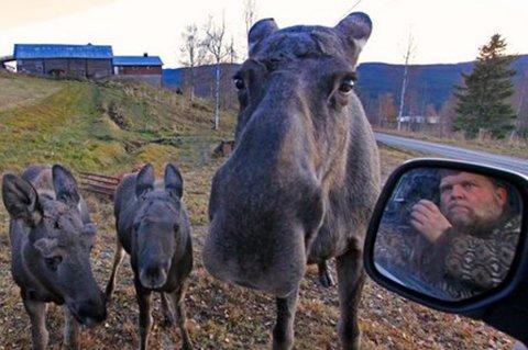 ELGEKSPERT: Hvert år tilbringer RB-journalist Hallgeir B. Skjelstad over 1.000 timer i skogen og fotograferer elg. Han gir deg tipsene for hvordan du skal oppføre deg rundt elg. FOTO: HALLGEIR B. SKJELSTAD