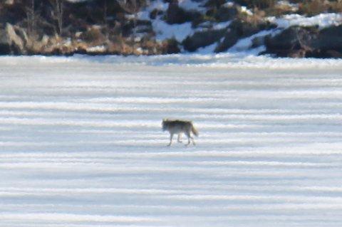 Her er ulven på Ulviksjøen i Aurskog torsdag ettermiddag.