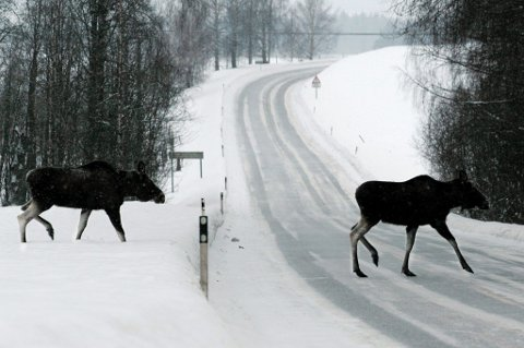 Redusere kvotene: Elgregionråd Øst mener elgstammen øst for Glomma er redusert såpass kraftig at kvotene må ned i årene som kommer. Foto: Ole-Johnny Myhrvold