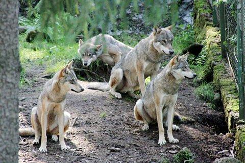 Svenskenes planer om å sett ut ulv fra dyreparker i grensetraktene vekker massiv motstand. Disse ulvene er fotografert i en dyrepark.