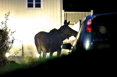 Elgen lusket seg forbi bilene som sto parkert i oppkjørselen og gikk inn i hagen.