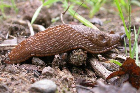 De plagsomme brunskogsnegl blir store i løpet av få uker, men det finnes hjelp for å bli kvitt dem.