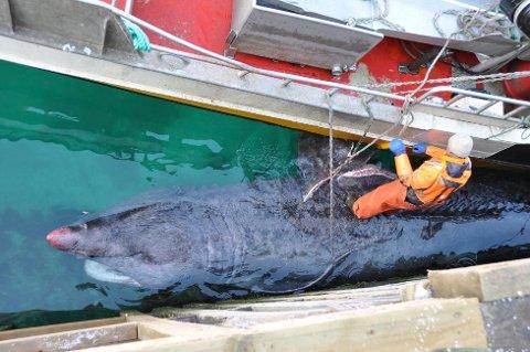 """SIDE OM SIDE: """"Nordhaug Senior"""" er 13 meter lang. Onsdag morgen tauet den inn ei brugde på 10 meter."""