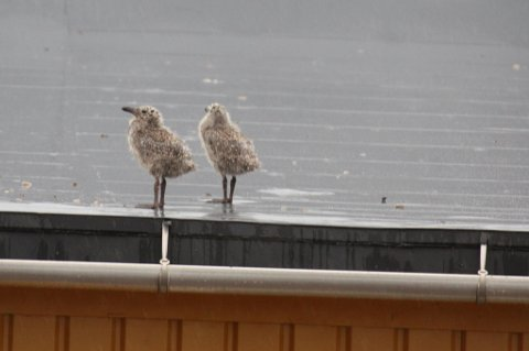 To av måsungene som holdt til på taket av Vestfjord hotell.