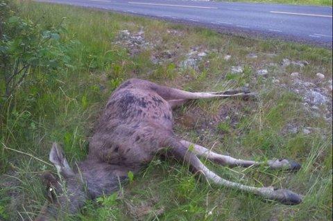 PÅKJØRT: Elgen døde i sammenstøtet.