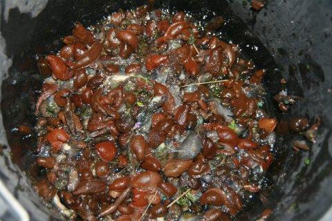 Sneglegugge: Her har Kjersti Høydalsmo delt 350 snegler i to, før hun har blandet dem med nematoder og vann. Dette skal brukes for å drepe flere snegler. (Foto: Kjersti Høydalsmo)
