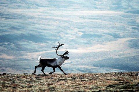 Arbeiderpartiet er redd for beitevillkårene til reinen om Høyre får det som de vil når det kommer til forvaltning av naturen.