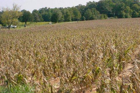 Tørken i USA har ødelagt store deler av avlingene av mais, og dermed løper prisene løpsk på verdensmarkedene