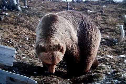 Denne bamsen fotograferte Kjell Hansen emd sitt viltkamera 20 meter fra hytta i 2009.
