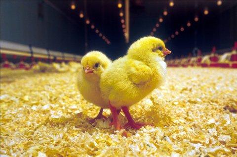 Sterk salgsvekst for kylling gjør at det fram mot jul kan bli mangel på over 1.000 tonn kyllingkjøtt,