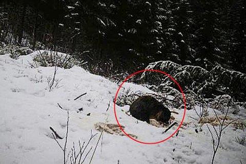 HISTORISK ØYEBLIKK: Her er det som etter alle solemerker er en mårhund. Fanget på et av Midt Troms Rovviltlags viltkamera - for første gang.