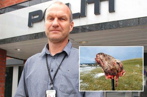 Arkivfoto ØP. Innfeldt: Grotesk: Alle sauehodene som var satt ut hadde avskårede ører. Dette hodet stod ved Gokstadhaugen i Sandefjord. (Foto: Olaf Akselsen, Sandefjords Blad)