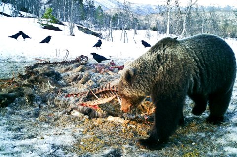 Her forsyner bjørnen i Saltdal seg fra åtet.