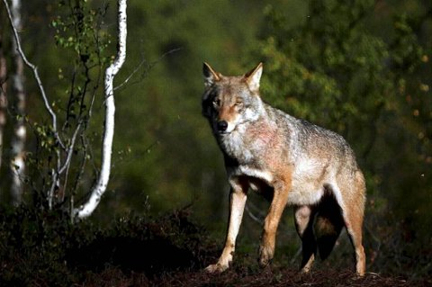 Ifølge Rovdata, den nasjonale overvåkingen av bestandstall, var det vinteren 2012 mellom 56 og 64 ulver i Norge.