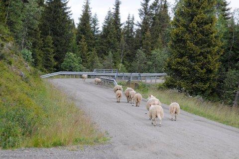 UROLIGE: Mange sauer er svært urolige av seg i området Sølvskottberget og Båsen i Øyer for tiden.l