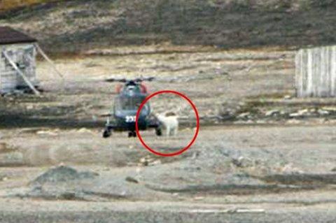 NÆRGÅENDE: Her undersøker en av isbjørnene Lynx-helikopteret nærmere.
