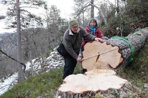 Jon Godal sjekker diameteren på den største av furutollene oppe i Øyalia. Denne målte 95 cm i diameter ved rota.