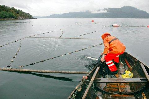 Falt i fisk: I fjor ble det drevet forskingsfiske med kilenot i Tingvoll- og Sunndalsfjorden. Nå viser det seg at det var umulig å skille genetisk om det var Driva-laks eller laks fra eksempelvis Surna som ble tatt.