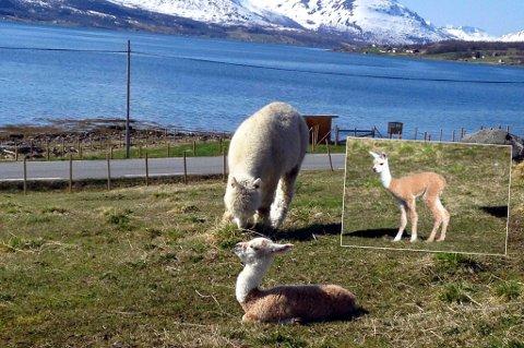 VERDENS NORDLIGSTE? Alpakkaer er sjeldne i nord, og fødsler er det enda lengre imellom. Oddlaug er i så måte en sjelden fugl.