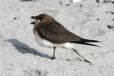 Denne sjeldne fuglen ble denne uken observert på Bolga
