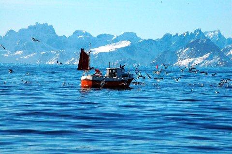 lofotfisket: Måsene samles til et måltid når fisken sløyes. Dette ser vi ikke lenger inne i havnene etter at det ble forbudt å sløye i havneområdene. Arkivfoto
